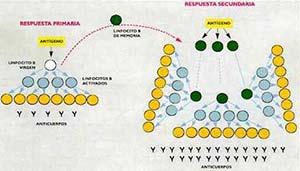 Fig 6 Respuesta inmune humoral primaria y secundaria