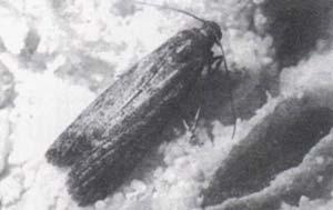 Fig 3 - Anagasta Kuehniella