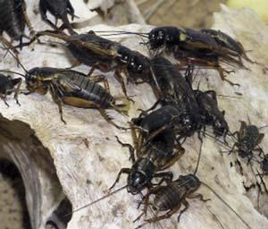 Grillos juveniles y adultos de la especie Gryllus bimaculatus, nativa de África y Europa. Ejemplo de desarrollo indirecto gradual: adultos y larvas se diferencian solo por el tamaño del cuerpo y de las alas. Los adultos pueden medir unos 2,5cm. Adrian Pingstone, Wikipedia Commons.