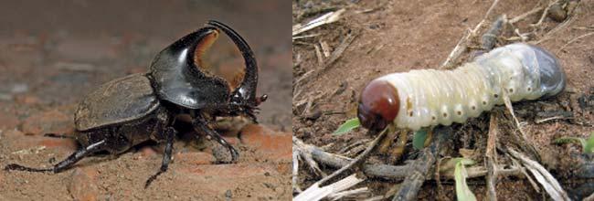 Izquierda: escarabajo torito o bicho candado (Diloboderus abderus), ejemplo de un insecto con metamorfosis abrupta. Mide unos 2cm. Eduardo González Carducci flickr. Derecha: larva de escarabajo torito; mide unos 2cm, aunque es raro verla así ya que, al remover la tierra, casi siempre se la encuentra enroscada.