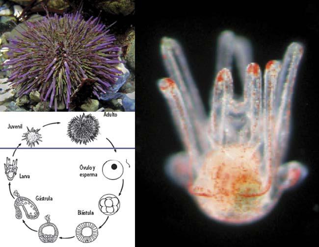 Izq Arriba Erizo de mar de la especie Strongylocentrotus purpuratus, que vive en las costas del Pacífico de México a Canadá. Es el invertebrado marino cuya metamorfosis más se ha estudiado. Puede medir unos 10cm de ancho y 5cm de alto. Kirt L Onthank, Wikipedia Commons. Derecha Larva plantónica de un erizo de mar; mide una fracción de milímetro. Izq Abajo Esquema del ciclo de vida de Strongylocentrotus purpuratus. Las formas mostradas arriba de la línea azul son bentónicas; las que están por debajo son pelágicas.