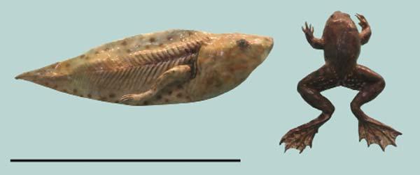 Rana de la especie Pseudis paradoxa, que vive en cuerpos sudamericanos de agua dulce desde Venezuela al noreste argentino. Sus renacuajos (izquierda), más grandes que los adultos, son un ejemplo de larva secundaria, aunque excepcional por su tamaño.