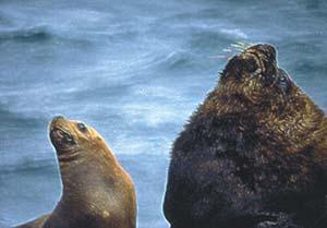 Figura 1. Hembra y macho de lobo marino sudamericano adultos en los que puede observarse el dimorfismo sexual.