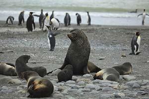 Lobos marinos antárticos. www.flickr.com/Liam Quinn