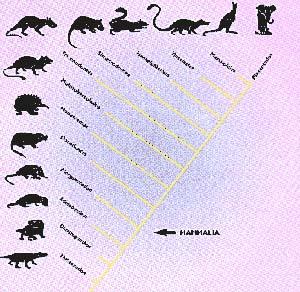 Figura 3. Cladograma que muestra las relaciones filogenéticas entre los grupos de mamiferos mencionados en el texto. Los terios están formados por tres grupos. Los pantoterios (que incluyen a Henkelotherium y Vincelestes, junto con otras formas menos conocidas) los simetrodontes y los tribosfénidos. Los últimos a su vez, abarcan a marsupiales y placentados