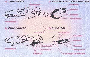 FIG. 5. ESQUEMA QUE MUESTRA CÓMO LOS HUESOS DE LA MANDÍBULA DE LOS CINODONTES SE TRANSFORMARON EN LOS DEL OIDO MEDIO DE LOS MAMÍFEROS. DADO QUE LOS EMBRIONES DE LOS MAMÍFEROS VIVIENTES SON MORFOLÓGICAMENTE MUY SEMEJANTES A LOS DE LAS FORMAS FÓSILES. LAS TRANSFORMACIONES QUE SUFREN AQUELLOS HUESOS EN LOS PRIMEROS, EN SU EVOLUCIÓN DE EMBRIÓN A ADULTO, AYUDAN A IMAGINAR EL MISMO PROCESO EN LOS FÓSILES, PUES HUESOS HOMÓLOGOS SIGUEN EL MISMO PATRÓN DE CAMBIO.