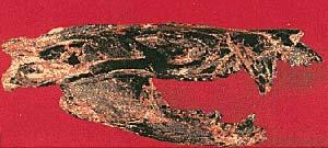 Figura 8   A) Vista lateral del cráneo de Vincelestes, de hace 125 millones de años, el mamífero más antiguo encontrado en Sudamérica y uno de los fósiles mesozoicos más completos del mundo. El fósil, con otros cinco cráneos fue hallado en Neuquén por un equipo del Museo Argentino de Ciencias Naturales dirigido por José Bonaparte. B) dibujo hipotético del mismo animal, cuyo largo total era, con la cola algo superior a los cincuenta centímetros.