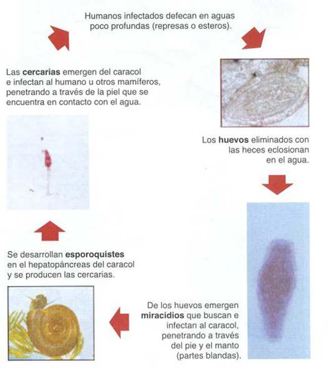 Figura 1: Representación esquemática del ciclo biológico de S. mansoni.