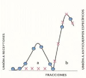 Fig 2. Prospección de plantas para detectar la posible existencia de productos naturales con propiedades similares a las de las benzodiazapinas. Plantas elegidas por su uso tradicional como tranquilizantes: tilo, valeriana, pasionaria, manzanilla y otras. Procedimiento> se fraccionaron extractos alcoholicos de cada planta, por distribución entre solventes no miscibles. Como ensayos bioquímicos, se determinó la capacidad de cada fracción obtenida de unirse (a) con el receptor GABA A y (b) con los anticuerpos específicos para las benzodiazepinas. Resultado típico del fraccionamiento obtenido en la mayoría de las plantas examinadas. En el eje horizontal se representan las fracciones logradas en la distribución de los extractos alcoholicos entre solventes, en los ejes verticales, la capacidad de cada fracción para unirse, ya sea con el receptor GABA B (eje izquierdo circulos) o con los anticuerpos específicos (eje derecho, cruces)
