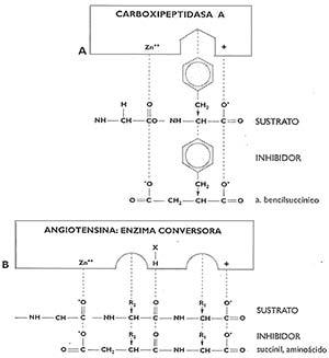 Fig 1 Modelos diagramáticos de los centros activos en las enzimas CPA y ACE