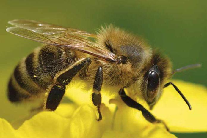 Meliponas, abejas melíferas sin aguijón