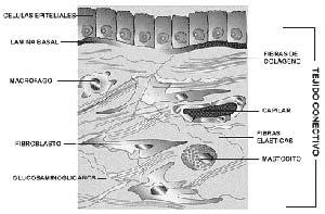 FIG I : La matriz estracelular del tejido conectivo -el cual es el sostén de la piel, los huesos, el cerebro, y la médula, entre otros- está consituida pro macromoléculas secretadas principalmente por los fibroblastos, células presentes en la misma matriz. Las móleculas más importantes son los glucosaminoglicanos (polímeros de azúcares complejos) unidos a proteínas, y proteínas fibrosas que mantienen la estructura de la matriz -como el colágeno y la elastina-  y otras que cumplen funciones de adhesión- tales como la fibronectina y la láminina-. La matriz tiene la consistencia de un gel, en el cual se hallan embebidas las proteínas, y que por lo tanto permite la difusión de nutrientes, metabolitos y hormonas entre la sangre y las células. En la interfase entre el epitelio y el tejido conectivo, la matriz forma la lámina basal, una estructura muy delgada constituida por algunos de los componentes de la matriz. En el esquema que se presenta, el cual no corresponde a la piel, se han incluido tambien células en la matriz, tales como los macrófagos, encargados de fagocitar y degradar partículas extrañas, y los mastocitos, que liberan sustancias químicas que participan en los procesos inflamatorios.