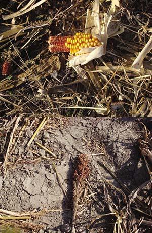 Espigas de sorgo granífero y de maíz caídas de las cosechadoras. En áreas con esos cultivos los rastrojos son fuente principal de alimento para la paloma torcaza.