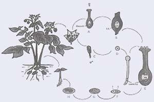 Fig 7 Esquema de la reproducción sexual de una planta de papa