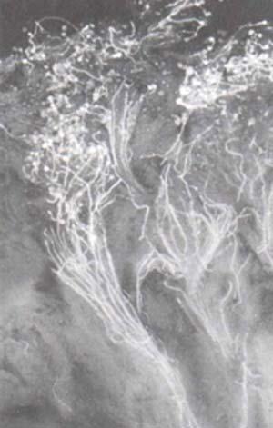 Fig 8 Ejemplo de cruzamiento incmpatible de especies de papa, debido a que los granos de polen germinan pero los tubos polínicos no llegan hasta el saco embrionario y no puede ocurrir la fecundación.
