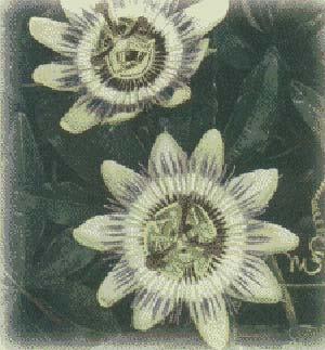 Flor de la pasionaria (Passiflora Coerulea)