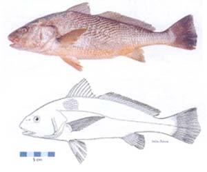 Familia Sciaenidae Corvina rubia, Micropogonias furnieri