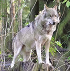 Foto actual de un lobo gris euroasiático (Canis lupus), de cuyos ancestros descienden todos los perros. La gran variedad de estos es el resultado de milenios de cría selectiva por los seres humanos.