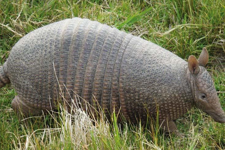 Mulita (Dasypus hybridus).