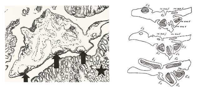 A la izquierda, microfotografía de un embrión no implantado tomada con un aumento de 50 diámetros en el microscopio. Las flechas indican tres discos embrionarios con sus cavidades amnióticas; la estrella señala la mucosa uterina. A la derecha, cortes de tres vesículas embrionarias de mulita con los discos embrionarios resaltados con rayado. Fernández publicó ambas ilustraciones en el volumen 21 de la Revista del Museo de La Plata, 1915.