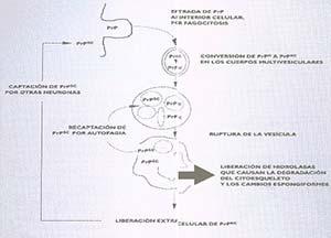Figura 2  Papel desempeñado por los lisosomas en la formación de PRPSC. El medio ácido caracteristico de estas vesículas intracelulares favorece la conversión del PRPC en PRPSC. Cuando se alcanzan suficientes concentraciones de PRPSC en el interior de la vesícula, esta se rompe y libera al medio PRPSC y enzimas hidrolíticas. Como consecuencia la neurona degenera y muere y la PRPSC puede ser captada por otra neurona, en la que se reanuda el ciclo. Adaptado de Mayer, RJ Et Al. 1992, The Lancet 340:156-159