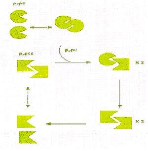 Figura 1.- Teoría del dúo mortal o de la proteína sola. Tanto la PRPC como la PRPSC existen como moléculas aisladas (monómeros) o como asociaciones de dos moléculas (dímeros) en estado de equilibrio. Cuando el dímero está constituido por una molécula de PRPC y otra de PRPSC, la segunda acelera