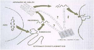 Figura 3 Teoría Cristalina La proteína infectiva se sintetiza en los ribosomas y luego se glucosila (se une con azúcares) en la organela intracelular denominada aparato de Golgi. Por último se ancla a la membrana citoplasmática mediante glicosidil fostatidil inositol (GPI) En cualquier etapa formarse el cristal infectivo. Adaptado de Dealler, S. 1991. Medical Hypotheses 36: 131-134