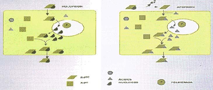 Figura 4 Teoría unificada. Izquierda: El holoprion que tiene PRPSC (Apoprion) y ácido nucleico (Coprion) invade la célula y la PRPC se convierte en PRPSC por un proceso que media la PRPSC del holoprion. El ácido nucleico podría ser replicado por polimerasas celulares que requieren de la presencia de PRPSC. Alternativamente, derecha, luego de que el apoprion entre en la célula, podría asociarse con algún acido nucleico, que sería replicado. Tomado de Weissmann C. 1991, Nature 352679683