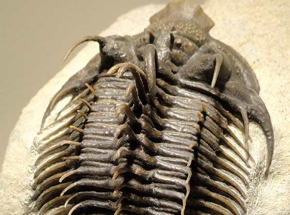 Radiaciones y extinciones del Paleozoico temprano