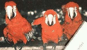 Dos especies de Guacamays: Ara Macao (centro) y A. Chloroptea. La primera se caracteriza, entre otras cosas, por una leve coloración amarilla en el plumaje de la cabeza. La segunda presenta un estriamiento de color rojo debajo de los ojos.