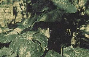 Hoja de Santa María (Pothomorphe Peltata) una de las plantas medicinales  más promisorias en la búsqueda de metabolitos secundarios de interés farmacológico.