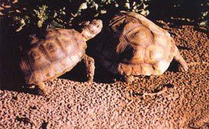 A finales de la primavera austral ocurre el inicio del período de celo, caracterizado por las violentas persecuciones de las que son objeto las hembras por parte de los machos. En la imagen se puede apreciar el mayor tamaño de la hembra de tortuga de tierra patagónica (Chelonoides donosobarrosi).