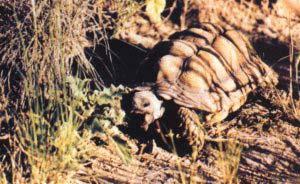Las características áridas del clima, la estacionalidad de las lluvias y la competencia que se establece con el ganado provocan que las tortugas tengan que desplazarse largas distancias para conseguir alimento.