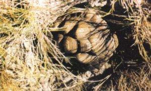 Las tortugas terrestres recurren, frecuentemente, al enterramiento, como forma de edaptarse a las duras condiciones climáticas de su área de distribución. En la imagen, una tortuga argentina (Chelonoides chilensis) se protege de la fuerte irradiación solar del mediodía.