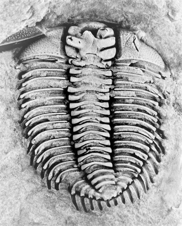 Los trilobites y el Paleozoico temprano