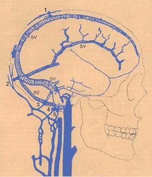 Sistema de venas emisarias craneanas (1,2,3,4 y 5). Se encuentran entre la piel y los huesos y ponen en comunicación la red de venas del cerebro por medio de cambios en el flujo de la sangre. En casos de hipertermia, en vez de fluir la sangre del cerebro a la zona subcutánea, lo hace en sentido contrario. De esa menera, la sangre enfriada por transpiración y vasodilatación en dicha zona disminuye la temperatura del cerebro, mecanismo que, durante la evolución de lo homóínidos, desempeñoun papel de gran importancia en el proceso de encefalización (Referencia: SV: senos venosos).